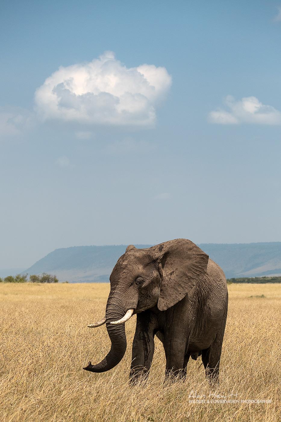 Elephant Maasai Mara African Photography Safari Alan Hewitt