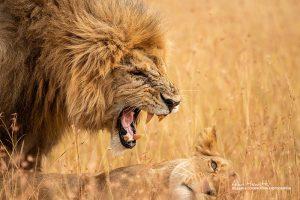 Lion, Kenya Wildlife Photography Safari