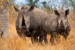 White Rhino, South Africa Wildlife Photography Safari