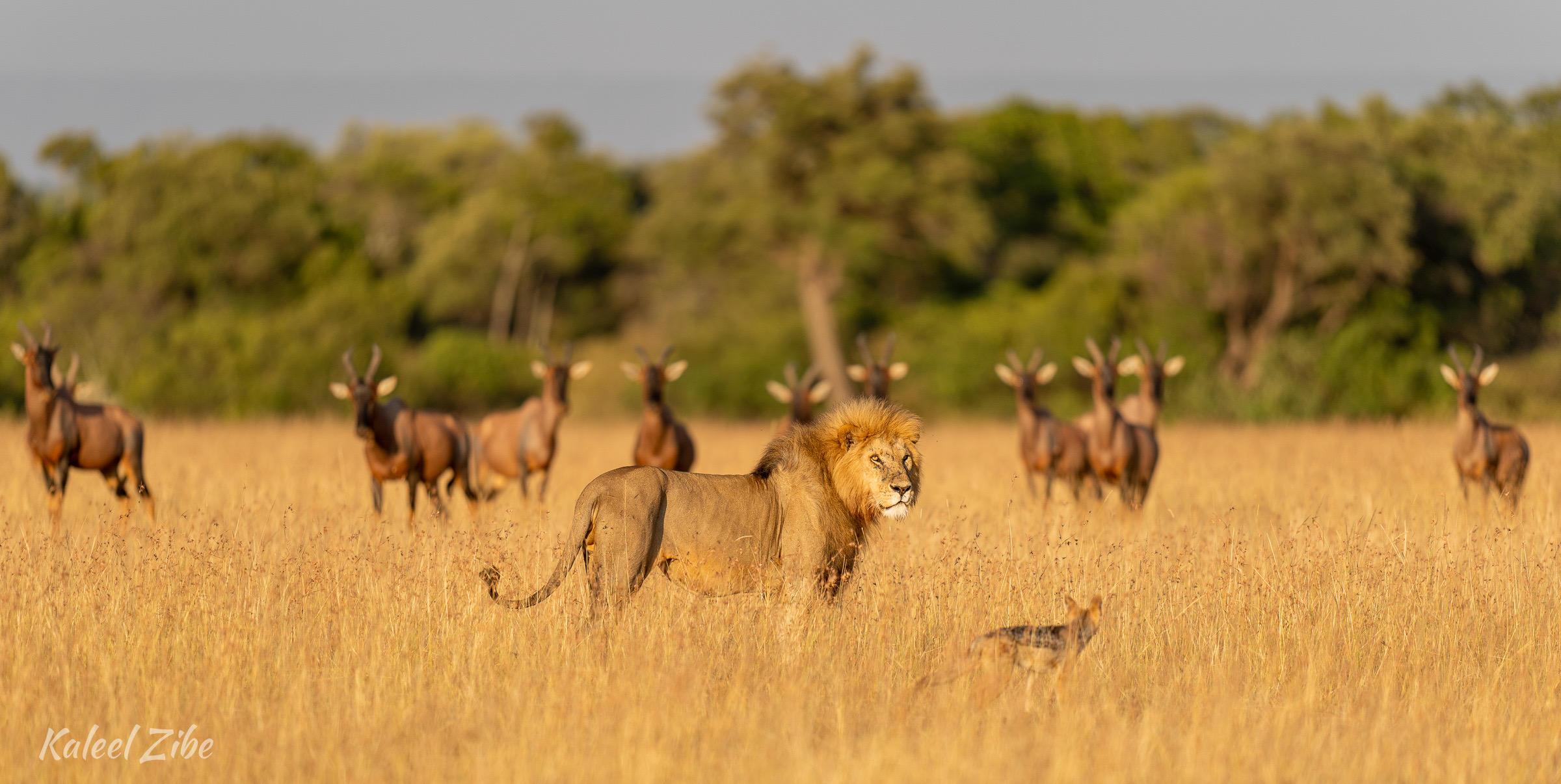 Photograping male lions Maasai Mara African Photography Safari Kaleel Zibe