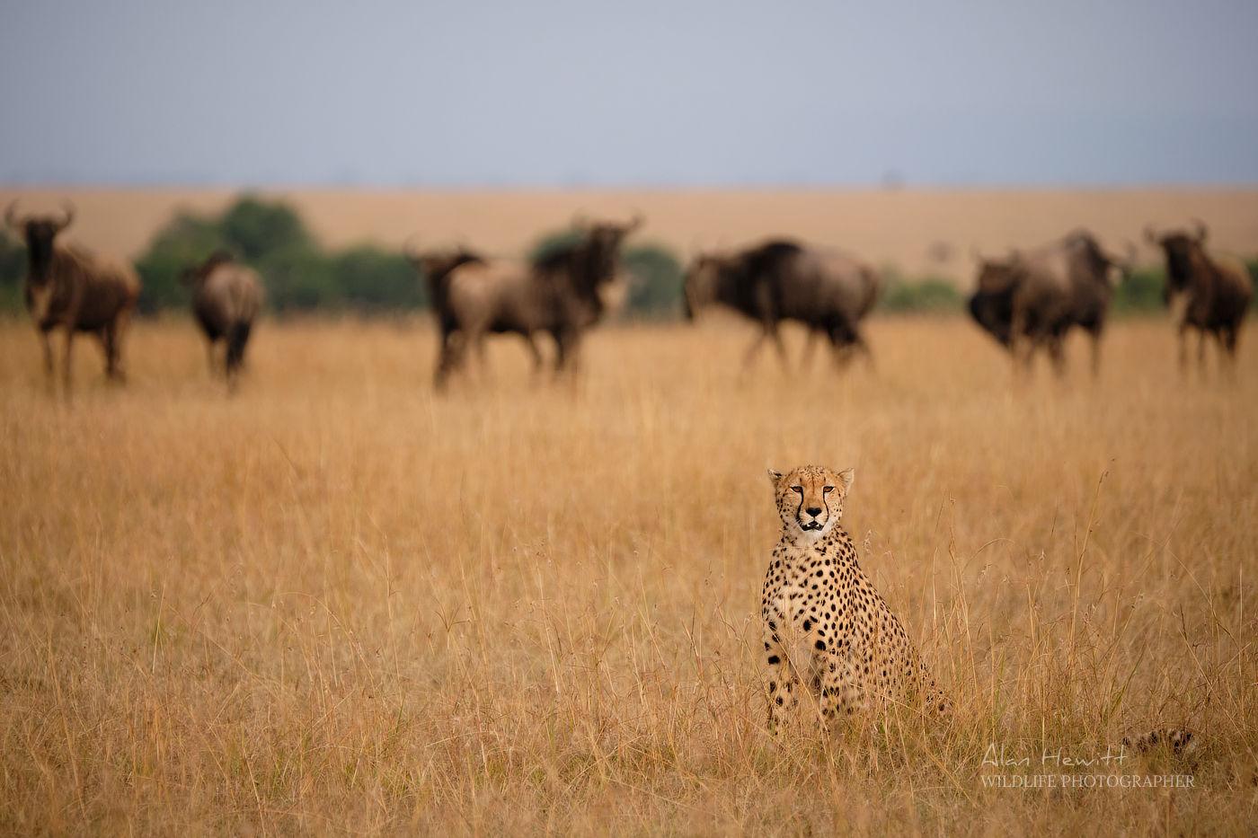 Cheetah Maasai Mara African Photography Safari Alan Hewitt