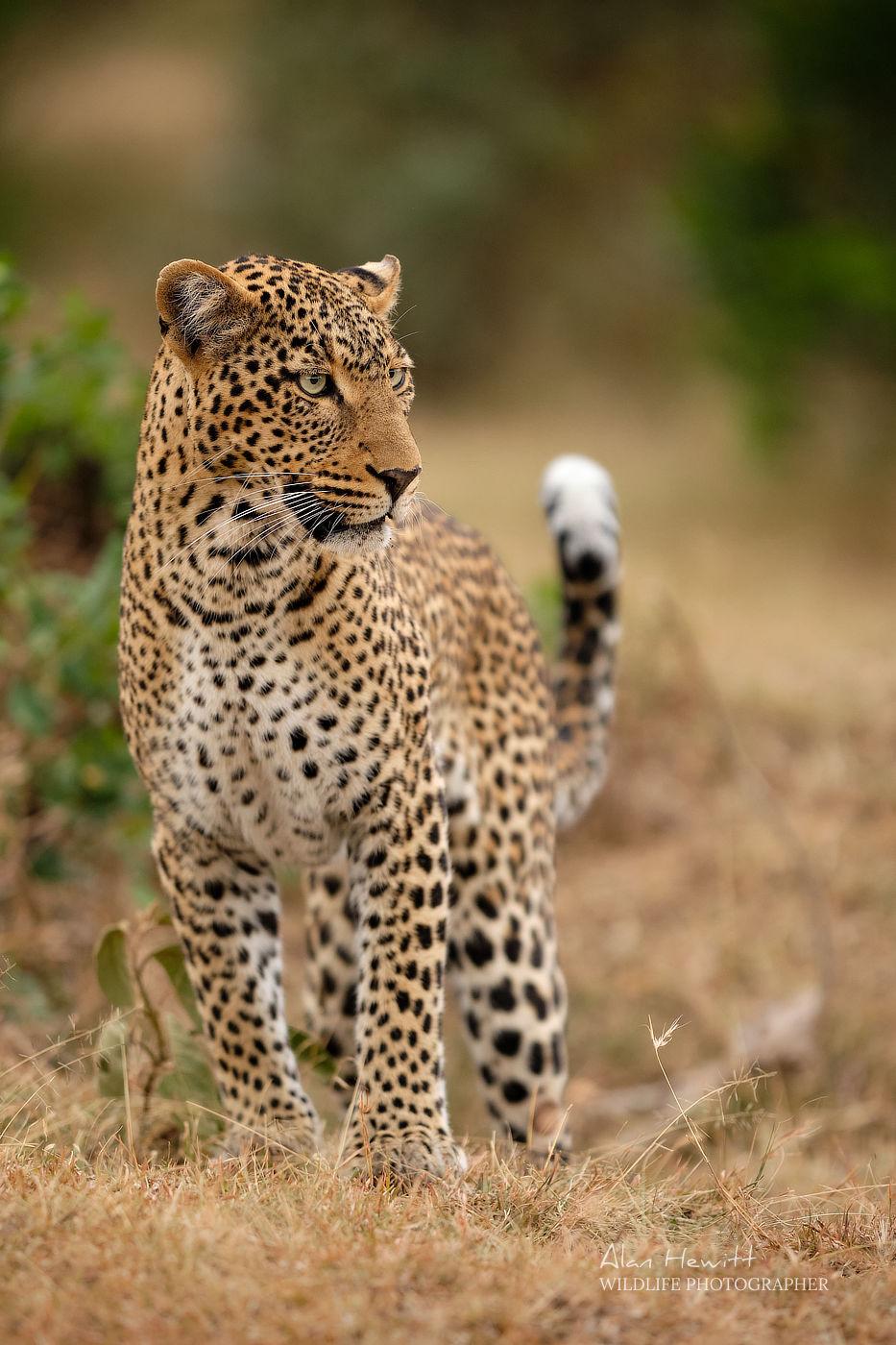 Leopard Maasai Mara African Photography Safari Alan Hewitt