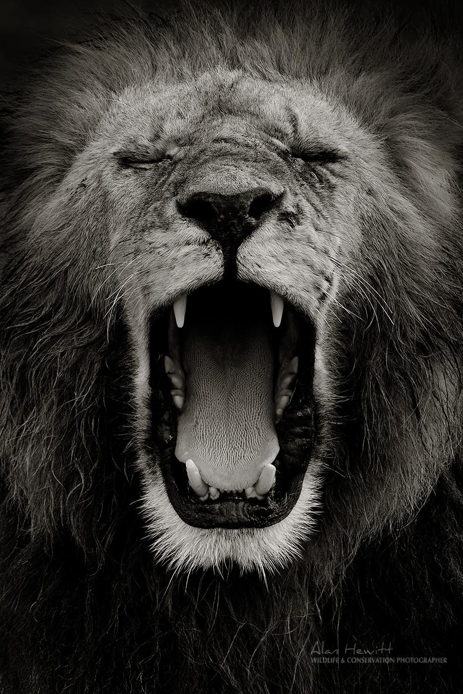 Male lion Maasai Mara African Photography Safaris © Alan Hewitt
