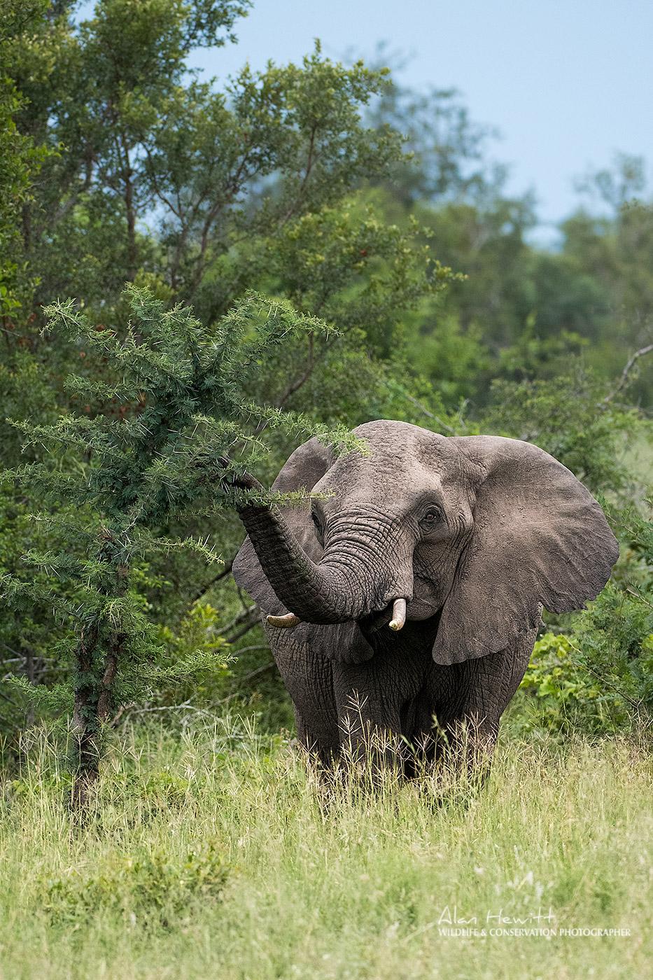 African Elephant African Photography Safaris Alan Hewitt and Kaleel Zibe