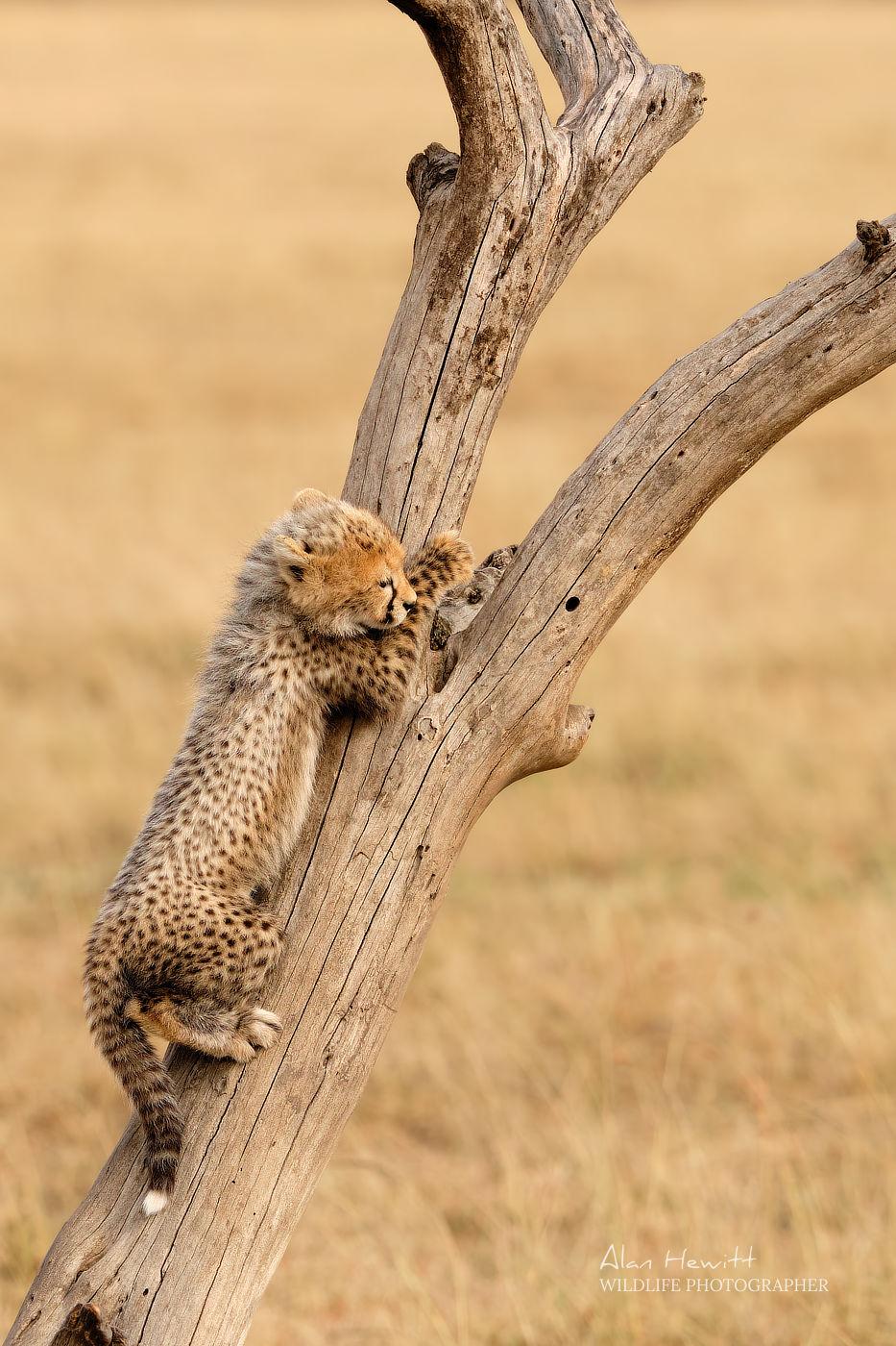 Cheetah Cub Maasai Mara African Photography Safari Alan Hewitt