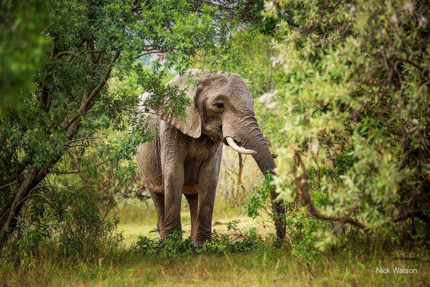 Elephant Maasai Mara African Photography Safari Nick Watson