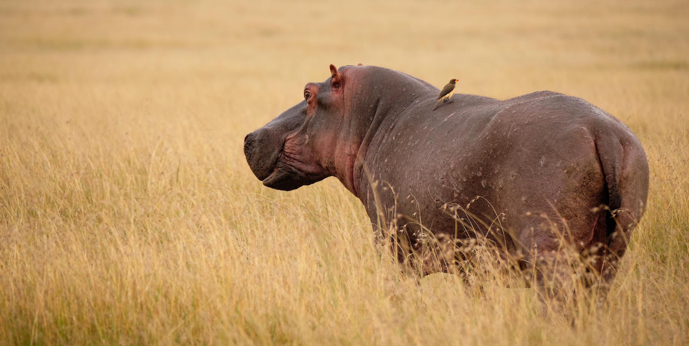 Hippo Maasai Mara African Photography Safari Alan Hewitt