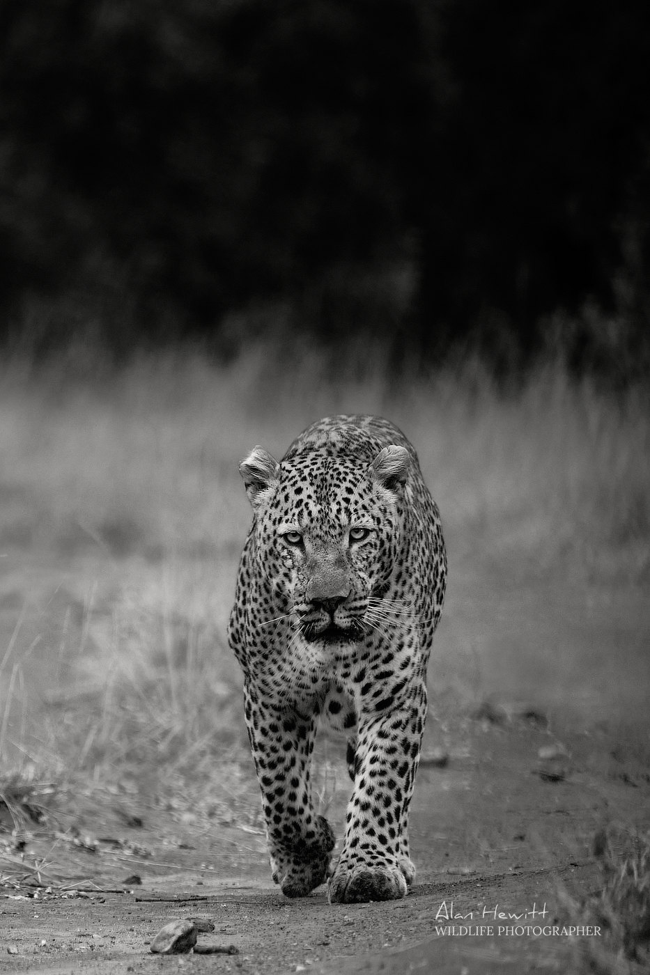Giraffe Maasai Mara African Photography Safari Alan Hewitt